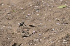 Amazing picture of enormous Tarantula hawk walking around, hunti. Amazing picture of enormous Tarantula Hawk hunting for tarantulas on sandy soil, walking around Royalty Free Stock Images