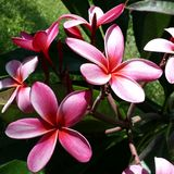 Amazing Plumeria In Pink Royalty Free Stock Images