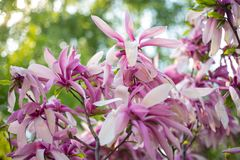 Amazing Pink Magnolia on a spring day. Blooming Magnolia flowers and stunning buds in spring. The warm colors of the Magnolia royalty free stock images