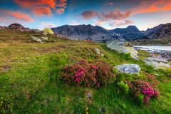 Amazing pink rhododendron flowers and colorful sunset, Retezat mountains, Romania Stock Images