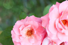 Amazing pink roses on natural background Stock Image