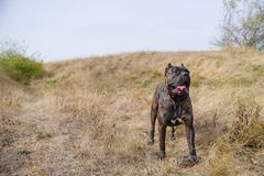 Amazing pitbull dog walking alone outdoors. Pet concept. Royalty Free Stock Photos