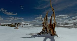 Lone Tree at Bristlecone Pine Forest, California stock footage