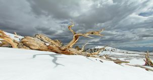 Ancient Bristlecone Pine Forest, California stock video footage