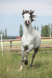Amazing pony moving on pasturage Royalty Free Stock Photos