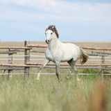 Amazing pony moving on pasturage Stock Photo