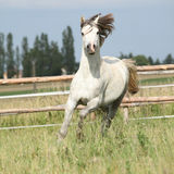 Amazing pony moving on pasturage Royalty Free Stock Photo