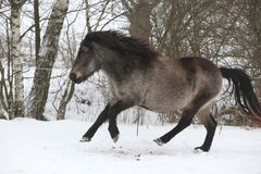 Amazing pony running in the snow Royalty Free Stock Photography