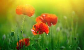 Amazing poppy field Stock Image