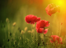 Amazing poppy field Royalty Free Stock Image