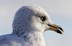 Amazing portrait of a cute beautiful gull with opened bick Stock Image