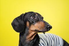 Amazing portrait dachshund dog, black and tan,on yellow background. Cute pet face stock images
