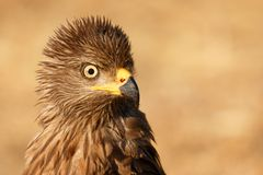 Amazing portrait of a scared kite looking something. In the nature stock photography
