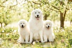 Amazing portrait of three white dogs morema sit on grass stock photos