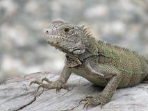 Amazing Posing Gray Iguana Perched on a Log Stock Image