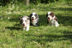 Amazing puppies of Bearded Collie Royalty Free Stock Image