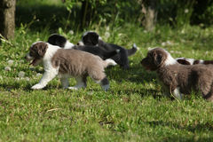 Amazing puppies of Bearded Collie Royalty Free Stock Images