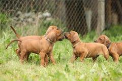 Amazing puppies of rhodesian ridgeback in the garden Royalty Free Stock Image