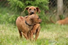 Amazing puppies of rhodesian ridgeback in the garden Stock Images