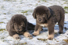 Amazing puppies of Tibetan mastiff Stock Images