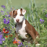 Amazing puppy of American Pit Bull Terrier in flowers Stock Photo