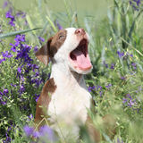 Amazing puppy of American Pit Bull Terrier in flowers Royalty Free Stock Photography