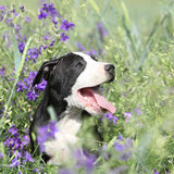 Amazing puppy of American Pit Bull Terrier in flowers Stock Images