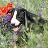 Amazing puppy of American Pit Bull Terrier in flowers Royalty Free Stock Image
