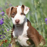 Amazing puppy of American Pit Bull Terrier in flowers Royalty Free Stock Photos