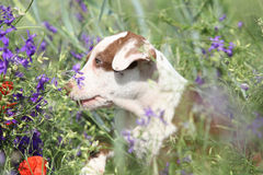 Amazing puppy of American Pit Bull Terrier in flowers Stock Image