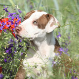 Amazing puppy of American Pit Bull Terrier in flowers Stock Photography
