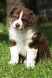 Amazing puppy of australian shepherd sitting in the grass Royalty Free Stock Photography