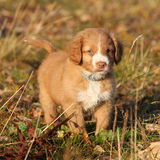 Amazing puppy of Nova Scotia in nature Royalty Free Stock Image