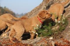 Amazing puppy of Nova Scotia in nature Stock Photos