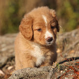 Amazing puppy of Nova Scotia on nature roots Royalty Free Stock Photography