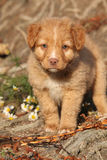 Amazing puppy of Nova Scotia on nature roots Stock Photo