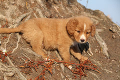 Amazing puppy of Nova Scotia on nature roots Stock Images