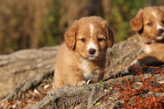 Amazing puppy of Nova Scotia on nature roots Royalty Free Stock Images