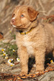 Amazing puppy of Nova Scotia on nature roots Royalty Free Stock Photos