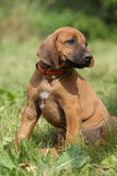 Amazing puppy of rhodesian ridgeback in the garden Royalty Free Stock Photography