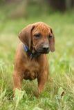 Amazing puppy of rhodesian ridgeback in the garden Stock Photo