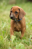 Amazing puppy of rhodesian ridgeback in the garden Royalty Free Stock Images