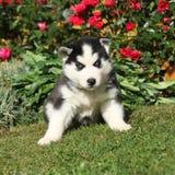 Amazing puppy of siberian husky sitting in the garden