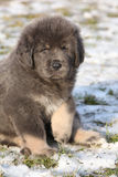 Amazing puppy of Tibetan mastiff looking at you Stock Photography