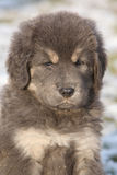Amazing puppy of Tibetan mastiff looking at you