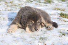Amazing puppy of Tibetan mastiff Stock Image
