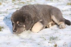 Amazing puppy of Tibetan mastiff Royalty Free Stock Photo