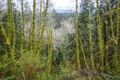 Amazing rain forest near Forks Bogachiel Clallam County - FORKS - WASHINGTON. Amazing rain forest near Forks Bogachiel Clallam County Royalty Free Stock Photo