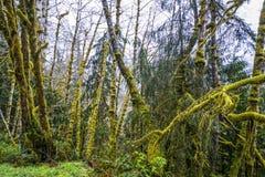 Amazing rain forest near Forks Bogachiel Clallam County - FORKS - WASHINGTON. Amazing rain forest near Forks Bogachiel Clallam County Royalty Free Stock Photography
