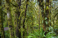 Amazing rain forest near Forks Bogachiel Clallam County - FORKS - WASHINGTON. Amazing rain forest near Forks Bogachiel Clallam County Royalty Free Stock Image